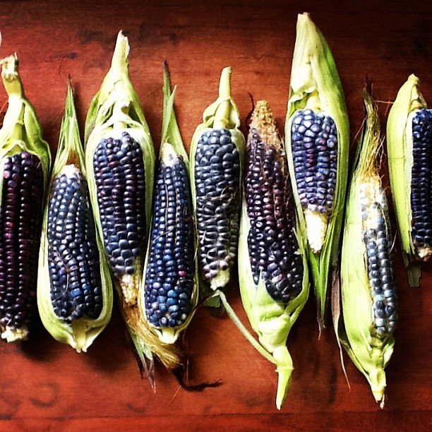 Blue Corn for Whiskey in the husk